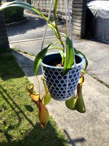 食虫植物と知らず購入したネペンテス